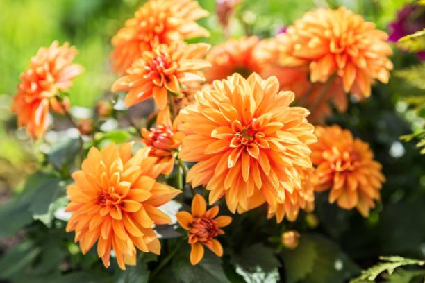 Orange dahlia flowers on the flowerbed in the garden